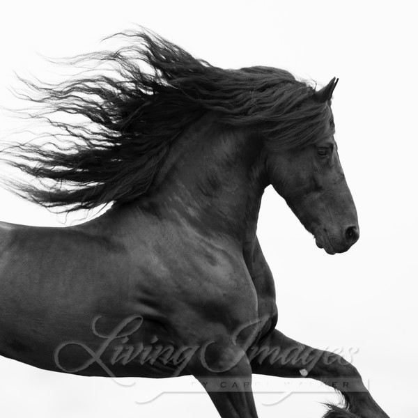 Black Friesian Runs Photography Art | Living Images by Carol Walker, LLC