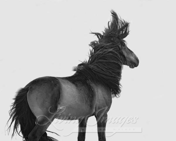 Sable Island Stallion Tosses His Head Art | Living Images by Carol Walker, LLC