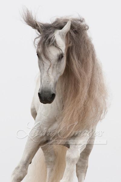 White Stallion Jumps Art | Living Images by Carol Walker, LLC