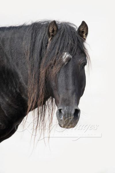 Sable Island Stallion's Portrait Art | Living Images by Carol Walker, LLC