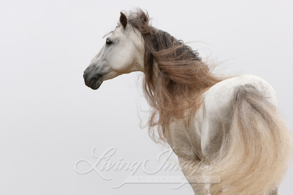 White Stallion Turns At Dawn Ii Art | Living Images by Carol Walker, LLC