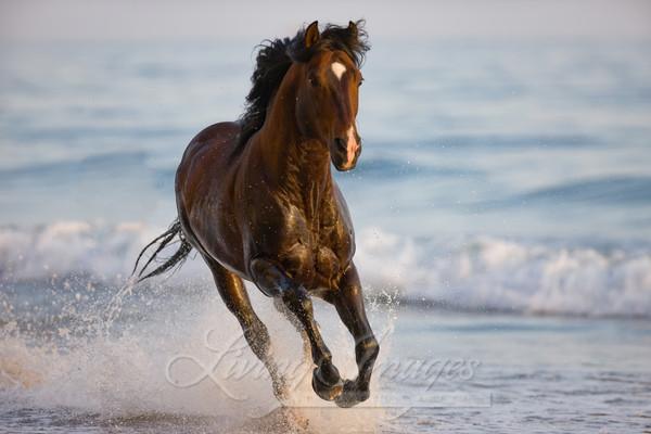 Summerland Beach, Ojai, CA, horse, purebred bay Azteca stallion running in water