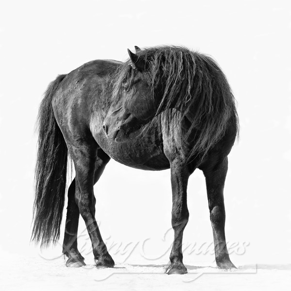 Sable Island Stallion Turns To Look Photography Art | Living Images by Carol Walker, LLC