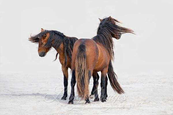 Two Sable Island Stallions Dance Ii Art | Living Images by Carol Walker, LLC