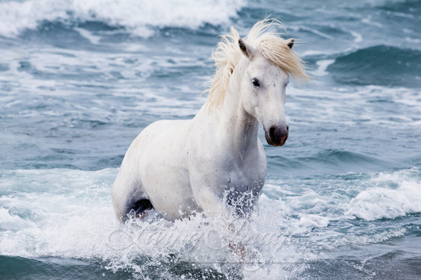 White Stallion In The Waves Photography Art | Living Images by Carol Walker, LLC