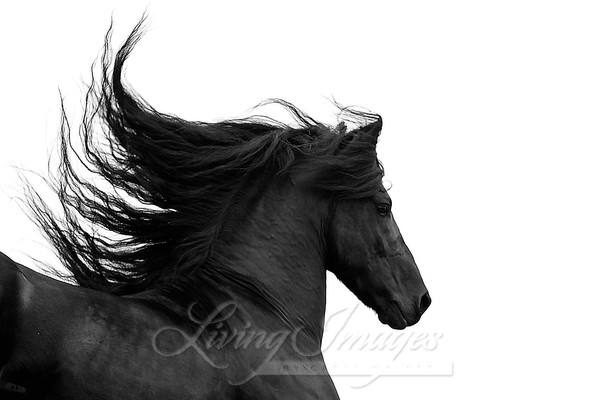 Friesian's Mane Flying Photography Art | Living Images by Carol Walker, LLC
