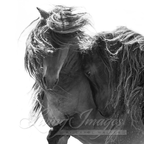 Two Sable Island Stallions Vi Photography Art | Living Images by Carol Walker, LLC