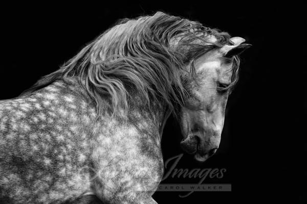 Classical Spanish Stallion Runs Art | Living Images by Carol Walker, LLC