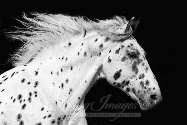 Spotted Stallion Runs Art | Living Images by Carol Walker, LLC