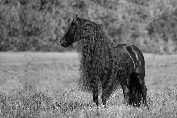 Black Friesian Looks Photography Art | Living Images by Carol Walker, LLC