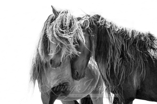 Two Sable Island Stallions  Art | Living Images by Carol Walker, LLC