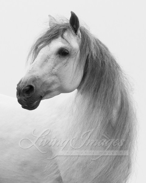 Andalusian Stallion Looks Art | Living Images by Carol Walker, LLC