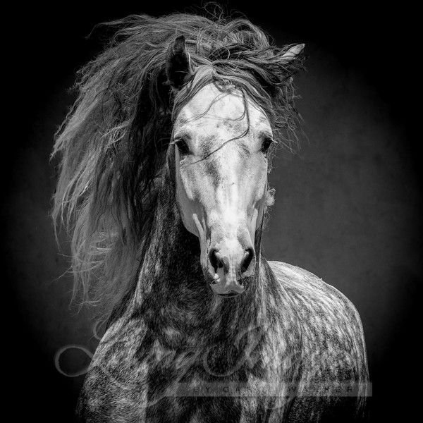 Andalusian Stallion Comes Out Of The Dark Art | Living Images by Carol Walker, LLC