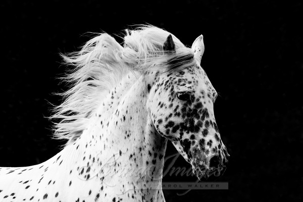 Spotted Stallion's Running Portrait Art | Living Images by Carol Walker, LLC