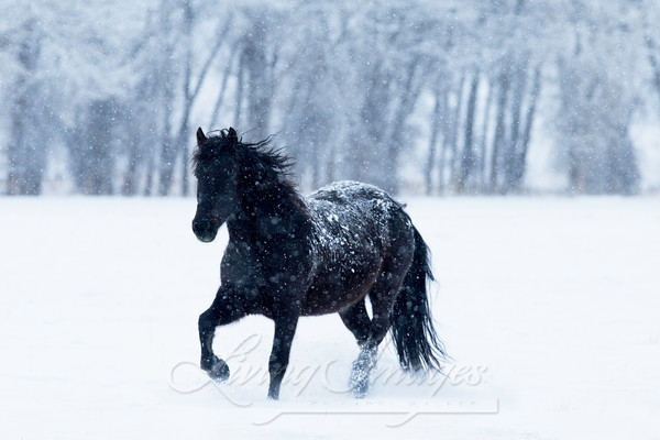 Black Horse In The Snow Art | Living Images by Carol Walker, LLC