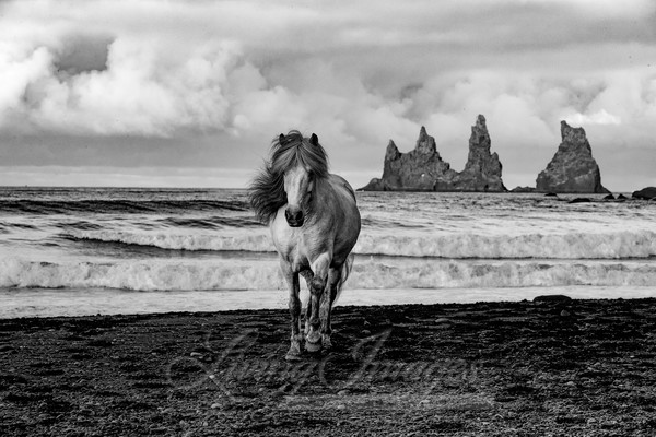 White Mare On A Black Sand Beach Art | Living Images by Carol Walker, LLC