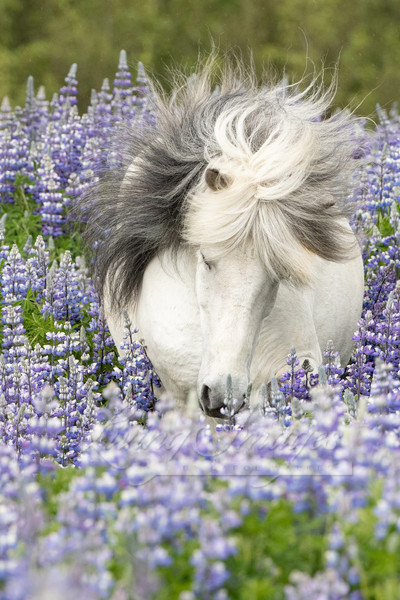 Shy Lupine Mare Art | Living Images by Carol Walker, LLC