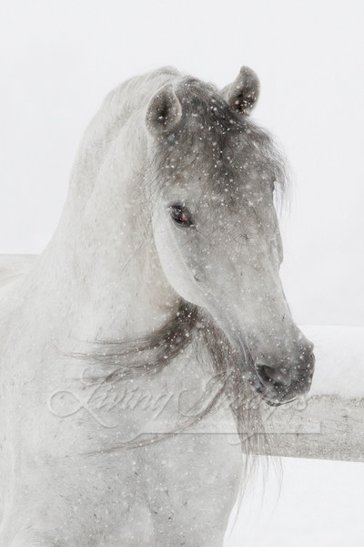 Mischievous Snowy Mare Art | Living Images by Carol Walker, LLC