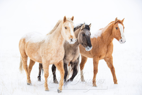Three Colorful Snow Horses Photography Art   Living Images by Carol Walker, LLC