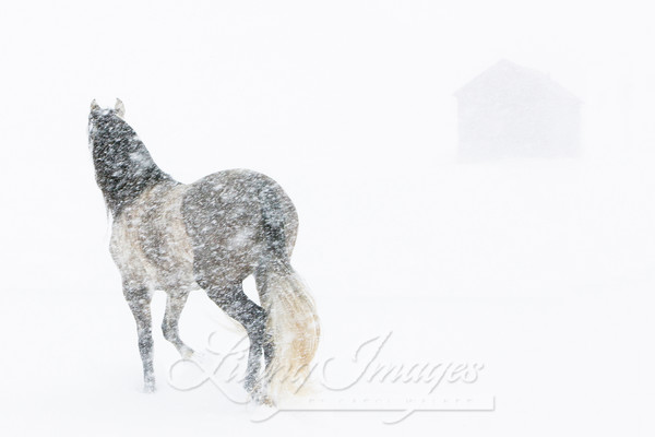 Mare In A Blizzard Ii Art | Living Images by Carol Walker, LLC