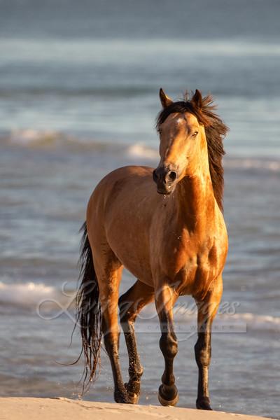 Buckskin Stallion By The Sea Art | Living Images by Carol Walker, LLC
