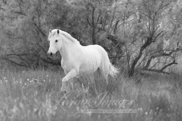 The White Horse In The Forest Photography Art | Living Images by Carol Walker, LLC