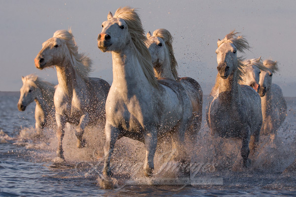 Camargue Horses Sunset Run Ii Photography Art | Living Images by Carol Walker, LLC