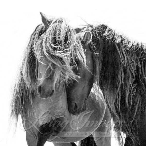 Two Sable Island Stallions Ii Photography Art | Living Images by Carol Walker, LLC