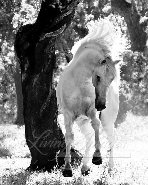 Stallion Dances Art | Living Images by Carol Walker, LLC