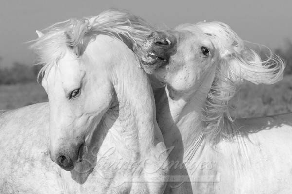 Two White Stallions Play Ii Photography Art | Living Images by Carol Walker, LLC