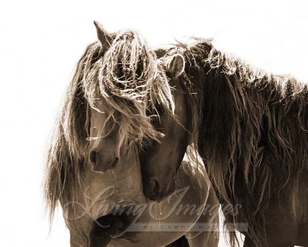Two Sable Island Stallions Sepia Photography Art | Living Images by Carol Walker, LLC