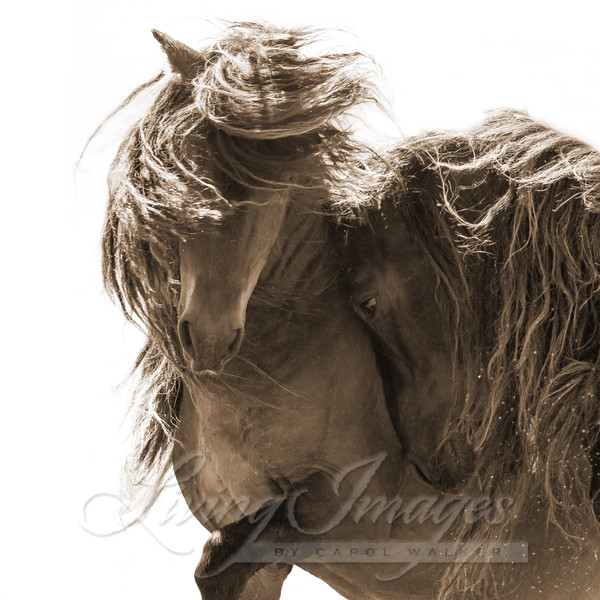 Two Sable Island Stallions Vi Sepia Art | Living Images by Carol Walker, LLC