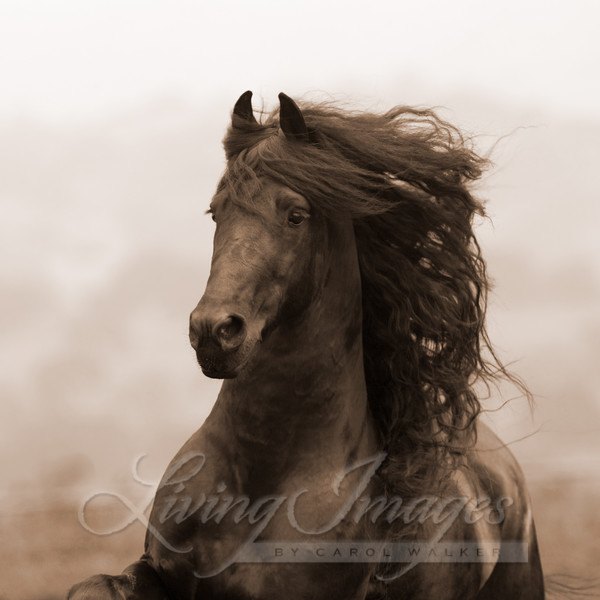 Ojai, CA, purebred horse, black Friesian stallion trotting on hillside