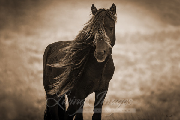 Sable Island Stallion's Dark Portrait In Sepia Art | Living Images by Carol Walker, LLC