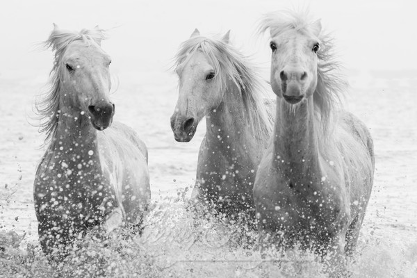 Three White Horses Splashing Photography Art | Living Images by Carol Walker, LLC