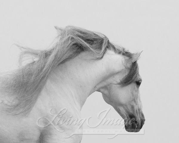 Gray Andalusian Stallion Runs Iii Art | Living Images by Carol Walker, LLC