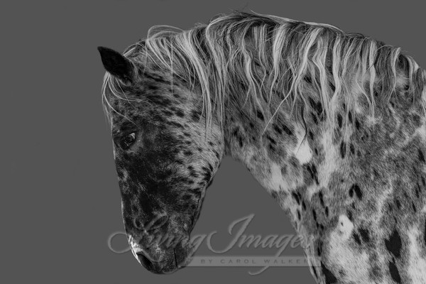 Leopard Appaloosa Portrait Art | Living Images by Carol Walker, LLC
