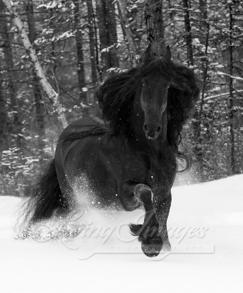 Friesian Stallion In A Snowy Forest Art | Living Images by Carol Walker, LLC