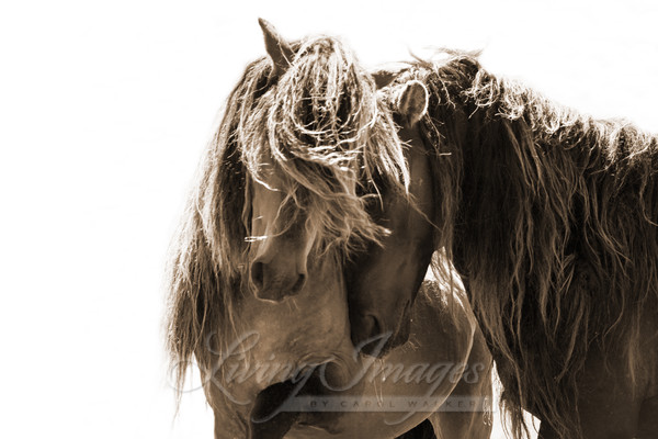 Two Sable Island Stallions In Sepia Art | Living Images by Carol Walker, LLC