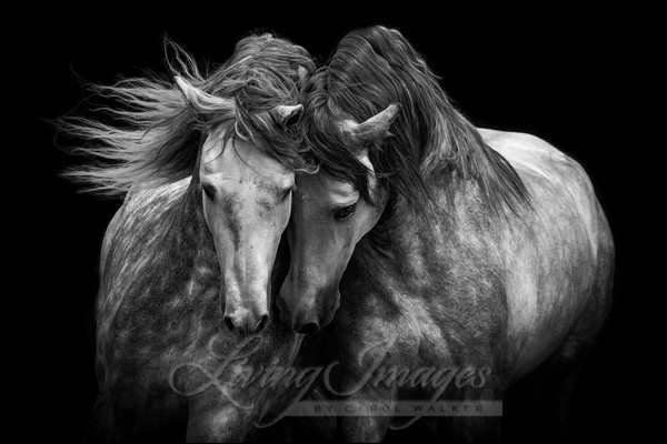 Two Andalusian Stallions Art | Living Images by Carol Walker, LLC