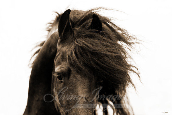 Friesian's Eyes Ii Art | Living Images by Carol Walker, LLC