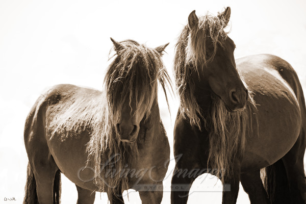 Two Sable Island Stallions V In Sepia Art | Living Images by Carol Walker, LLC