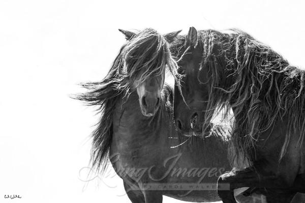 Two Sable Island Stallions Iv Signed Art | Living Images by Carol Walker, LLC