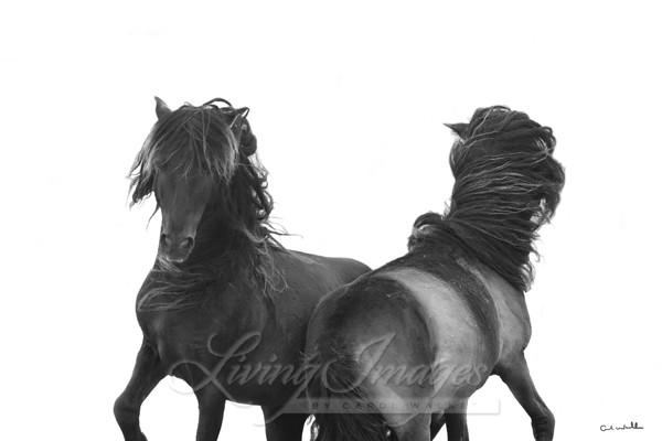 Two Sable Island Stallions Dance Art | Living Images by Carol Walker, LLC