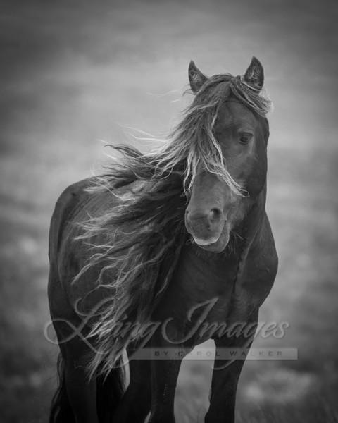 Sable Island Stallion's Dark Portrait Ii Art | Living Images by Carol Walker, LLC