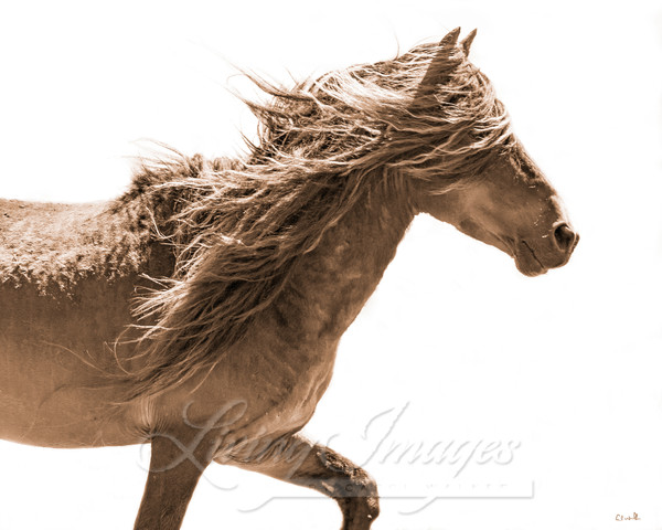 Sable Island Stallion Moves In Sepia Art | Living Images by Carol Walker, LLC