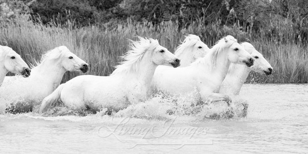 White Camargue Horses Splashing Art | Living Images by Carol Walker, LLC