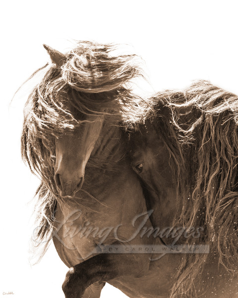 Two Sable Island Stallions Vii Art | Living Images by Carol Walker, LLC