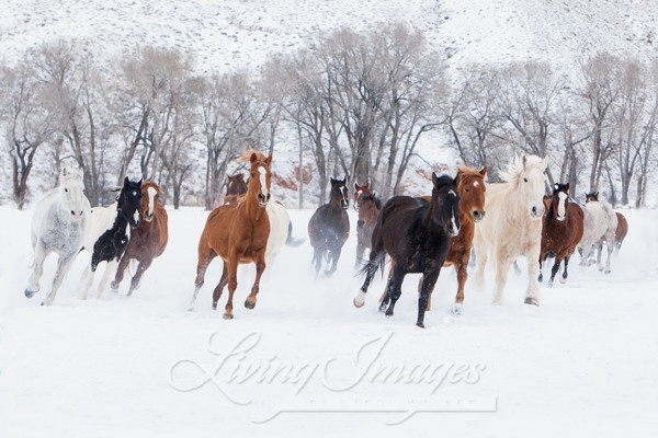 Colorful Horses Running In The Snow Art | Living Images by Carol Walker, LLC