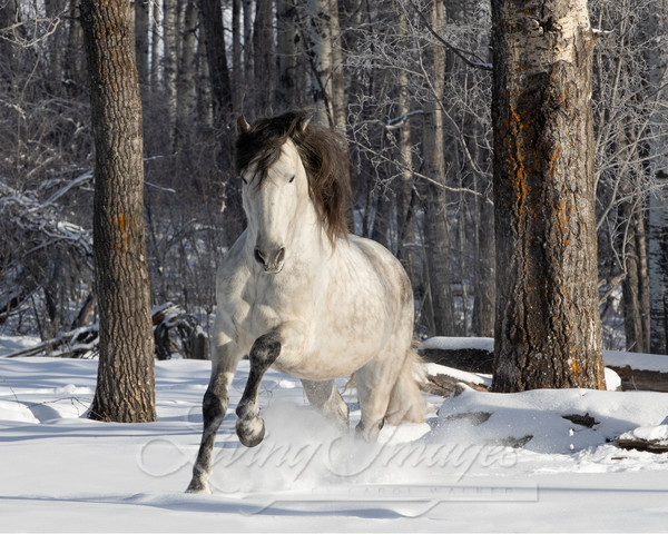 The Andalusian In The Snowy Forest Art | Living Images by Carol Walker, LLC